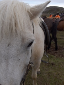 13. more icelandic ponies on a trail ride