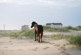 wild horse in the outerbanks, North Carolina