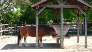Riverdale Farms Clydesdale, Rooster, in Toronto, Ontario