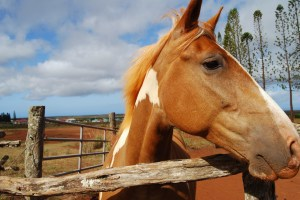 Horse at Stables at Ko'ele in Lanai, Hawaii