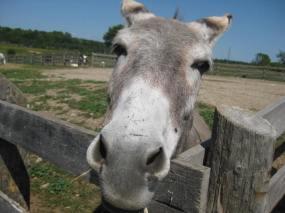 donkey at Donkey Sanctuary of Canada horsetrotting.net