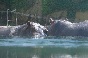 Eye-level hippos at the Granby Zoo, Quebec