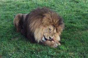 Lion African Lion Safari travel
