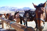 horses at Red Rock Canyon conservation area
