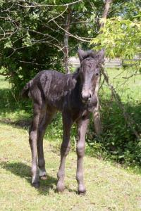 new foal at Upper Canada Village