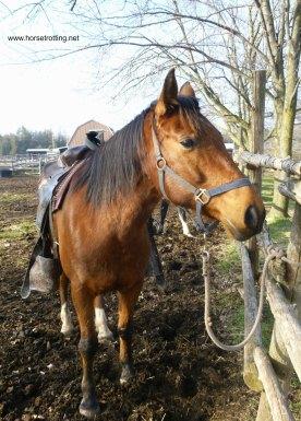 Arabian trail horse www.horsetrotting.net