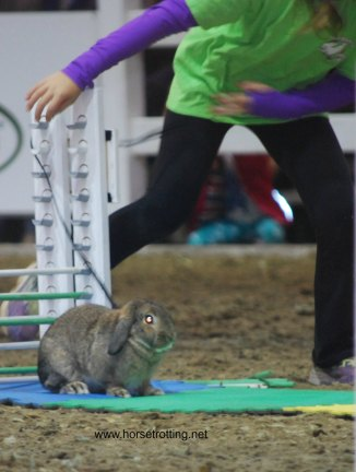 Bunny Jumping at the Royal Winter Fair, Toronto