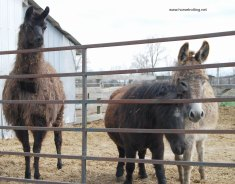 llama mini burro WHR