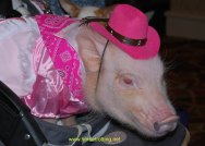 pigblogpaws