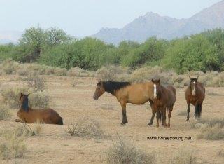 Arizona Wild Horses
