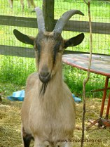 loki the goat