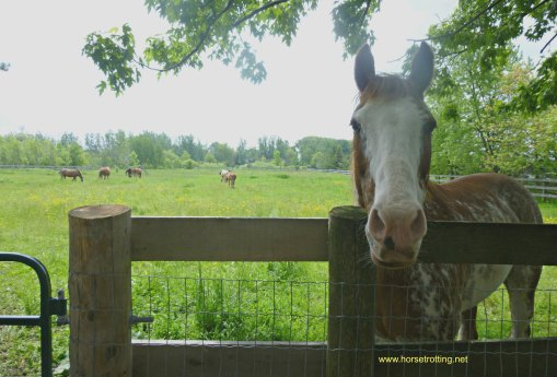 spencer and the Horse Rescue Ontario herd