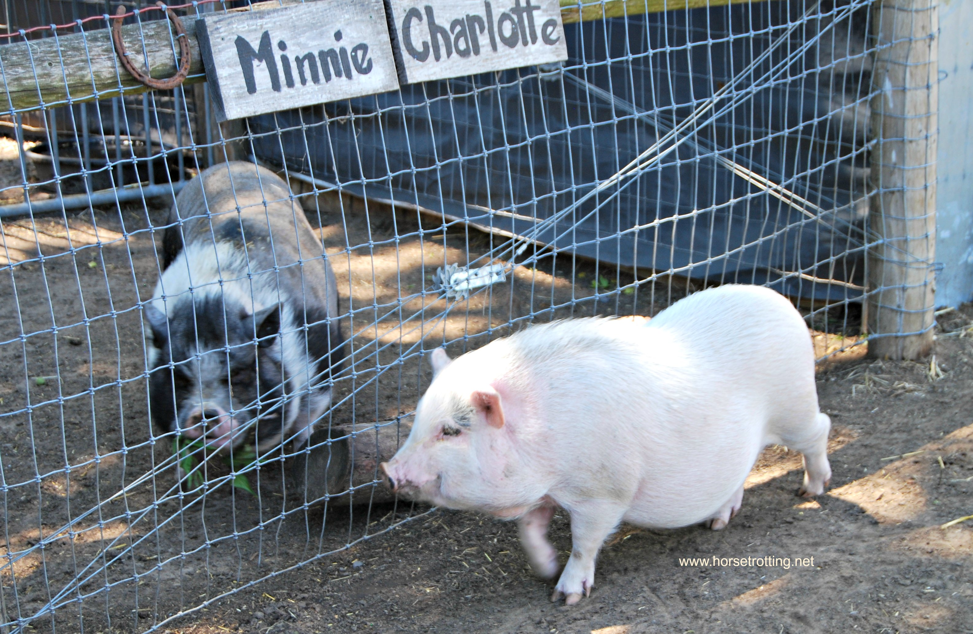 Potbellied pigs at Ralphy's Resort Animal Sanctuary