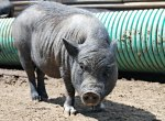 Potbellied pig at Ralphy's Resort Animal Sanctuary