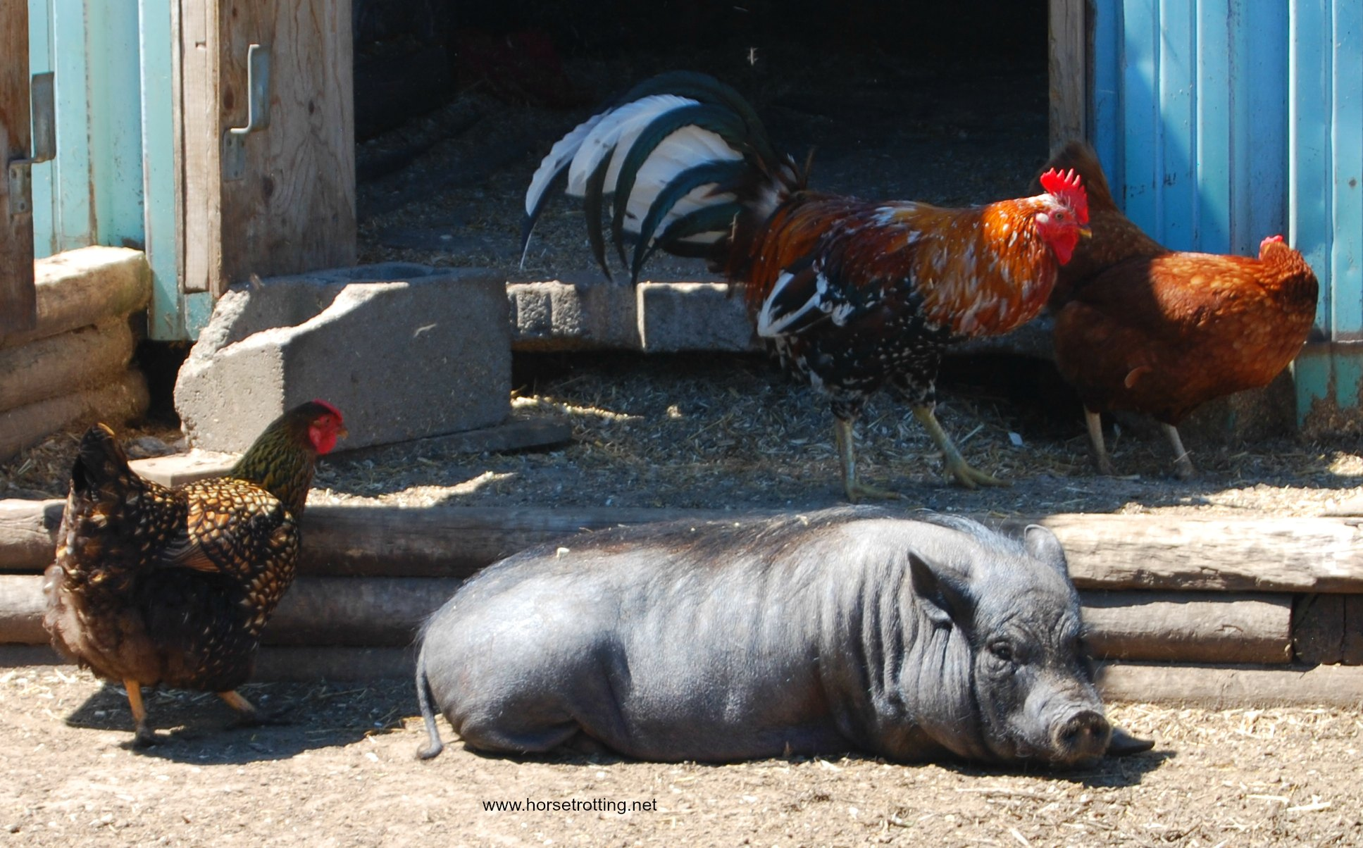 Potbellied pig and rosters at Ralphy's Resort Animal Sanctuary
