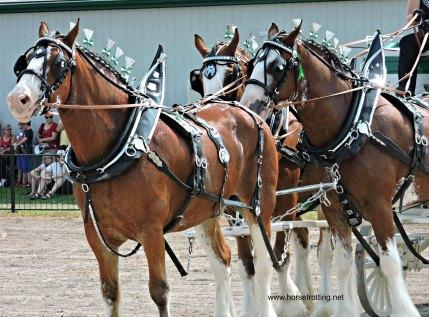Binbrook Fall Fair Heavy Horse Hitching Class 2017