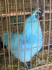 Blue Chicken at the Norfolk County Fair, Simcoe, Ontario