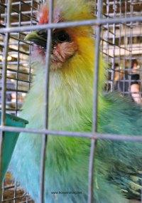 Rainbow Chicken at the Norfolk County Fair, Simcoe, Ontario