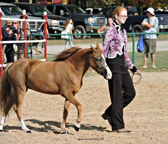 Fall Fair MIniature Horse Judging Competition