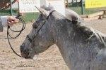 Fall Fair MIniature Horse Judging Competition