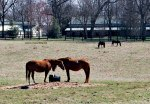 thoroughbred horses in a field at Saxony Farms, Lexington, Kentucky