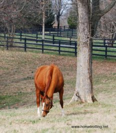 thoroughbred horse in a paddock at Saxony Farms, Lexington, Kentucky