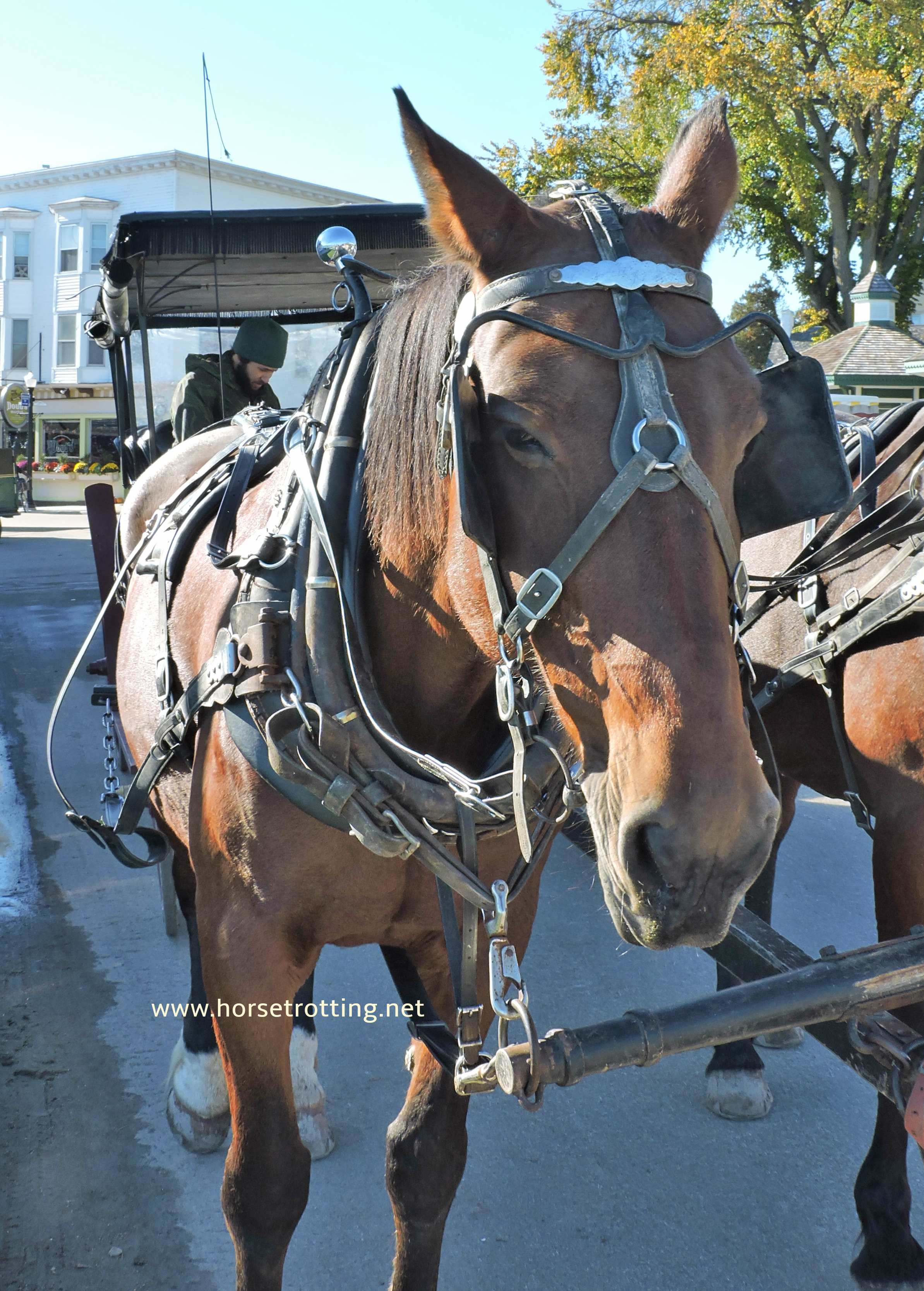 carriage horses of Mackinac Island, Michigan www.horsetrotting.net