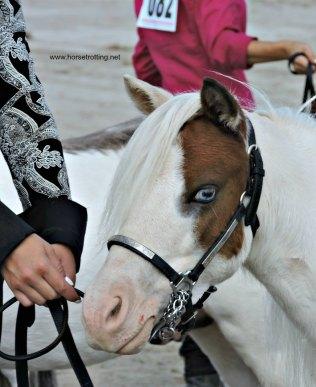 mini horse at Dunville Fall Fair 2018, Dunville, Ontario