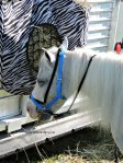 mini horse at Dunville Fall Fair 2018, Dunville, Ontario