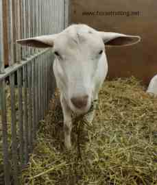 goat royal Winter Fair 2018