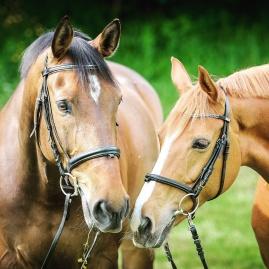 swiss-horses