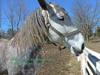 Percheron named Brook at Mountsberg Conservation Area, Campbellville, Ontario,Canada
