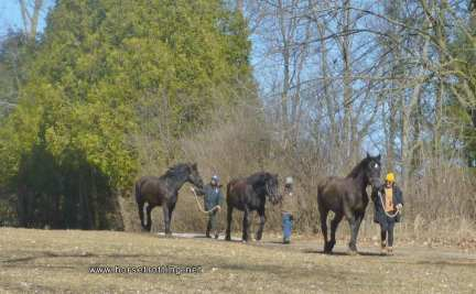 Three Percheron horses at Mountsberg Conservation Area, Campbellville, Ontario,Canada