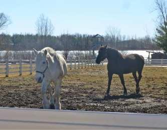 Two Percheron horses at Mountsberg Conservation Area, Campbellville, Ontario,Canada