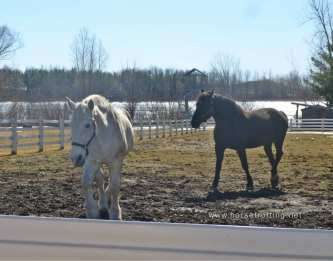 Two Percheron horses at Mountsberg Conservation Area, Campbellville, Ontario,Canada