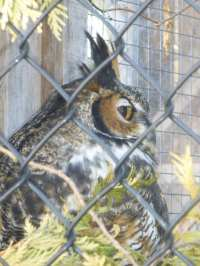 Captive owl at Mountsberg Conservation Area, Campbellville, Ontario,Canada