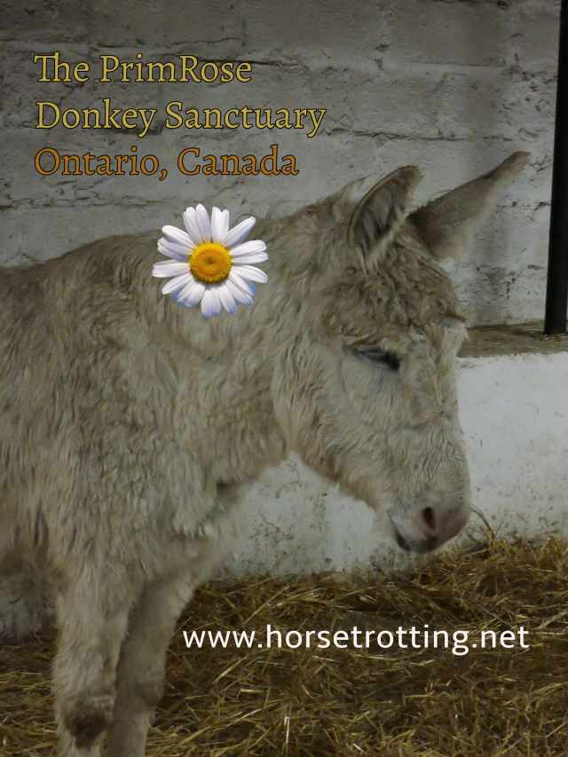 donkey at PrimRose Donkey Sanctuary, Canada
