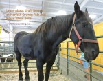 percheron horse at norfolk county fair 2019