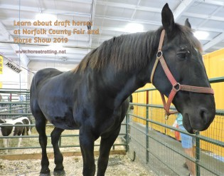 percheron horse at norfolk county fair 2019